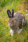 stock photo of wild-rabbit  - wild jack rabbit sitting on green grass in yellowstone national park - JPG
