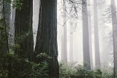 stock photo of redwood forest  - Foggy redwood forest in North Coast  - JPG