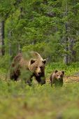 foto of bear-cub  - Brown bear walking with a cub in the forest