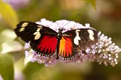 stock photo of dory  - Close up of the Butterfly Heliconius doris - JPG