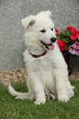 foto of swiss shepherd dog  - Beautiful puppy of White Swiss Shepherd Dog sitting in the garden - JPG
