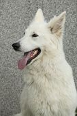 picture of swiss shepherd dog  - Potrait of amazing White Swiss Shepherd Dog - JPG