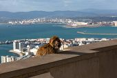 stock photo of gibraltar  - Gibraltar Monkeys or Barbary Macaques tourist attraction at the Monkey - JPG