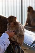 picture of gibraltar  - Gibraltar Monkeys or Barbary Macaques tourist attraction at the Monkey - JPG