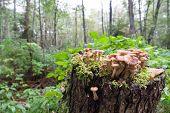 picture of agar  - mushrooms grow in dark on stubs and a moss honey agarics  - JPG