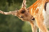 picture of itchy  - fallow deer stag  - JPG