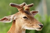 stock photo of bambi  - fallow deer stag  - JPG