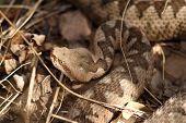 picture of venom  - large head of vipera ammodytes  - JPG