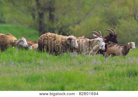 Herd of sheep and goat