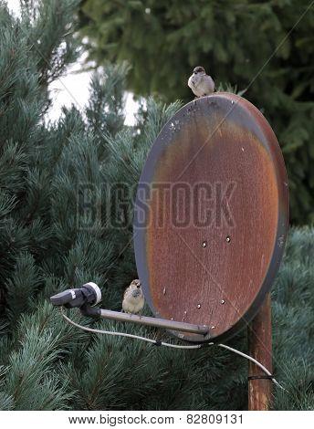 Sparrows On Satellite Dish