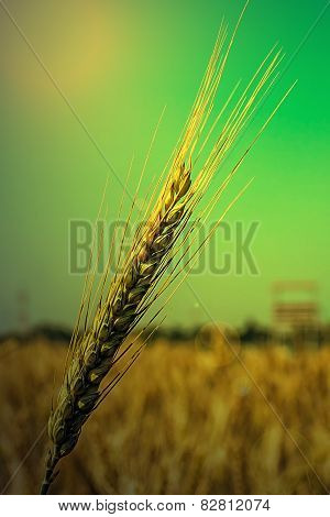 Background With Wheat Ears, In The Morning Light