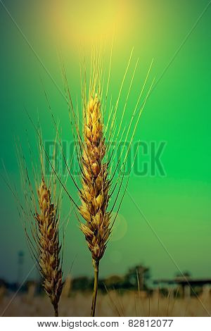 Background With Wheat Ears In The Morning Light