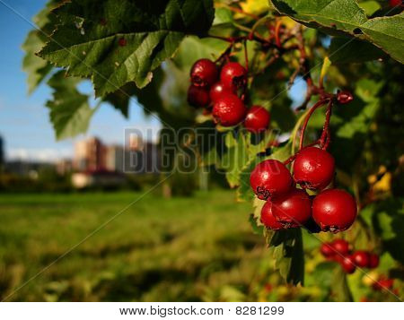 Ashberries In Autumn City