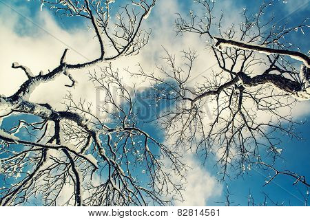 Looking Up At Snow Covered Tree Branches