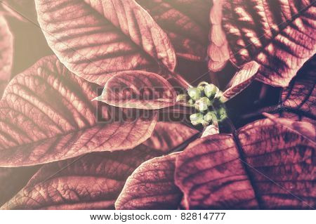 Retro Close Up Of A Poinsettia Plant