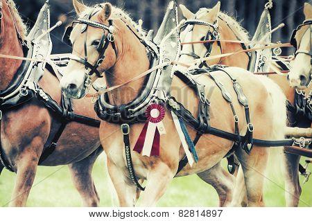 Champion Haflinger Horses - Retro