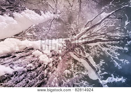 Infrared Snow Covered Maple Tree