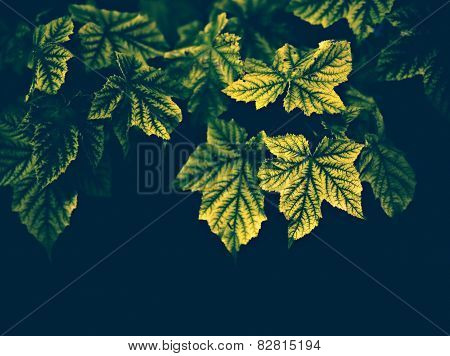 Maple Leaves On A Dark Background - Vintage