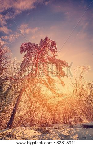 Sun Glow Behind Ice Covered Trees