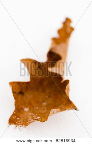 Macro close-up of oak leaf in snow