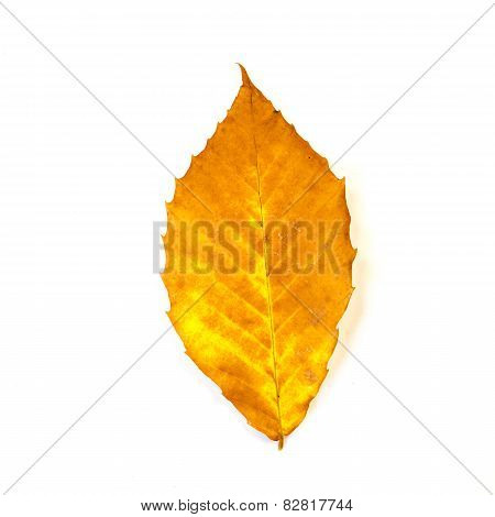 Yellow And Orange Beech Leaf Isolated On White
