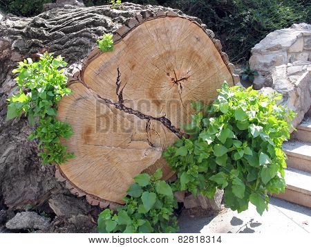 The Trunk Of A Felled Tree