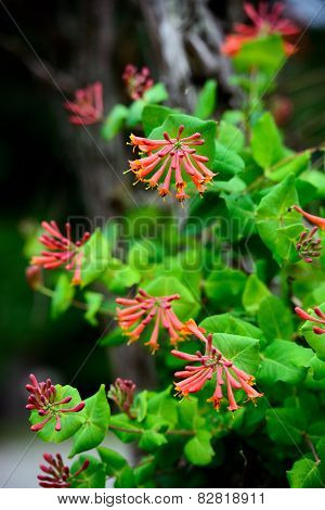 Trumpet Honeysuckle Flowers