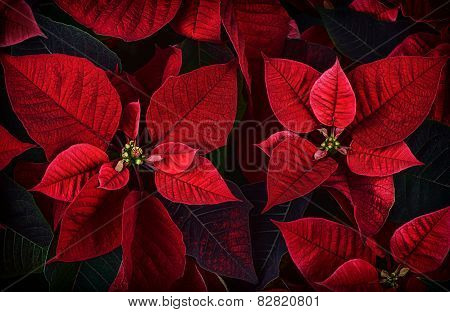 Close Up Detail Of Poinsettia Plant Leaves