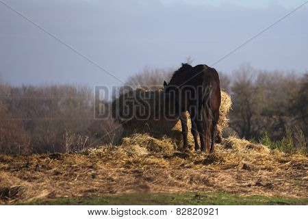 Horse Eating Straw