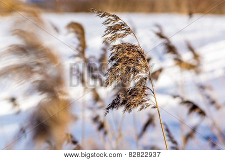 sedge grass