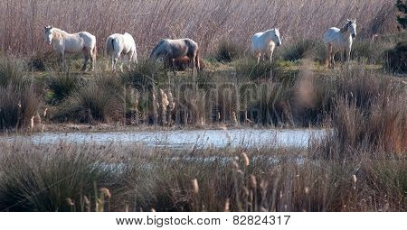 Five white horses grazing