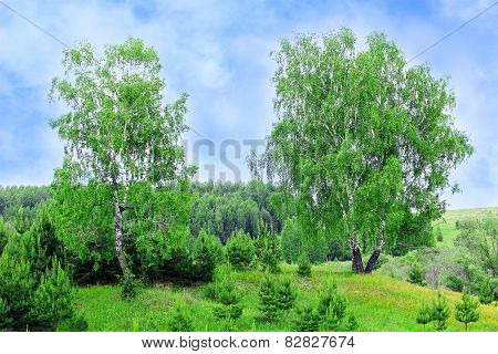 Birch Tree And Sunlight Sky