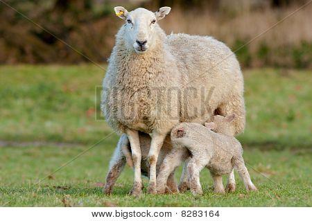 zwei junge Lämmer Fütterung von Mutter ewe