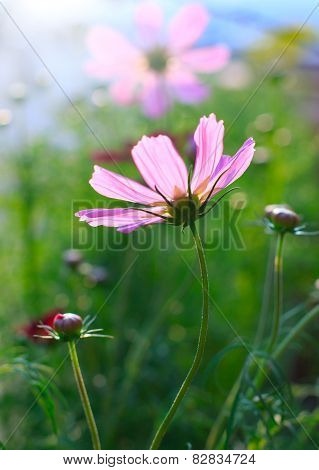 Close Up Of Pink Cosmos Flowers Field With  Flare Light Behind And  Green Blur Background