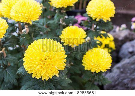 Yellow Flower Of Chrysanthemum.