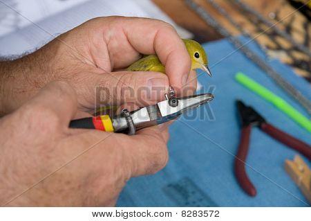 Banding A Warbler