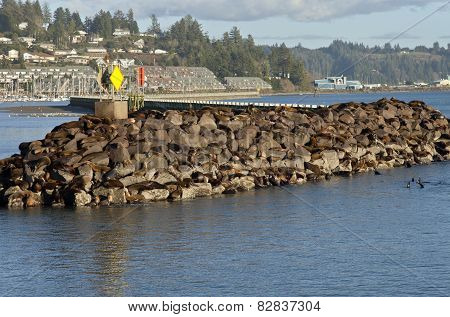Sea Lions On Rocks In Newport Oregon.