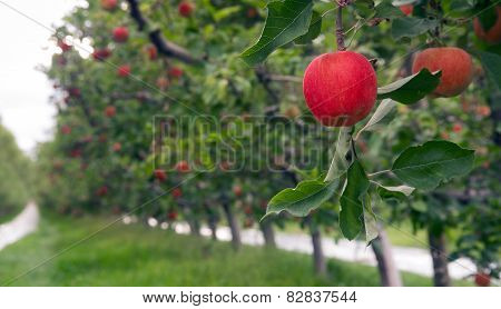 An Apple Orchard Yields Fresh Fruit Washington State