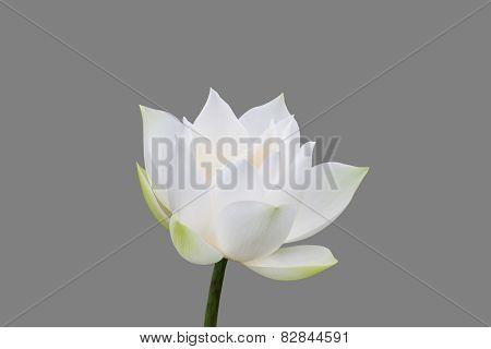 White lotus isolated on gray background