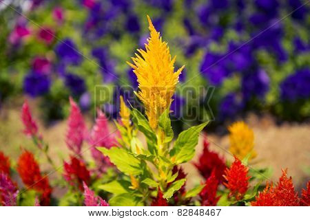 Cockscomb flower (Celosia Cristata) in a garden.