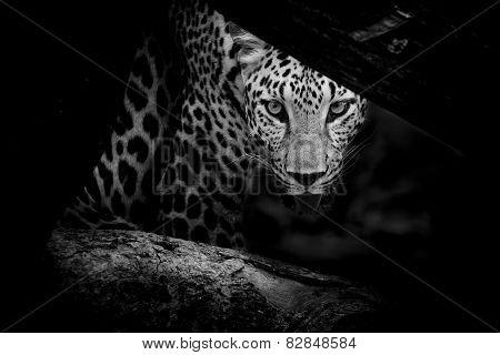 Leopard Portrait B&w