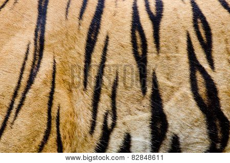 Colorful Detail Of Tiger Pelt
