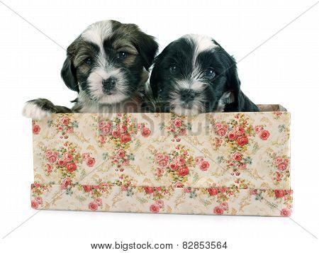 Puppies Tibetan Terrier