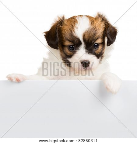 Cute Little Puppy Papillon Leans On Blank Banner