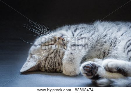 Black silver tabby kitten lying lazy
