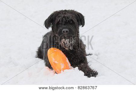 Big Black Schnauzer Dog Is Looking At The Camera