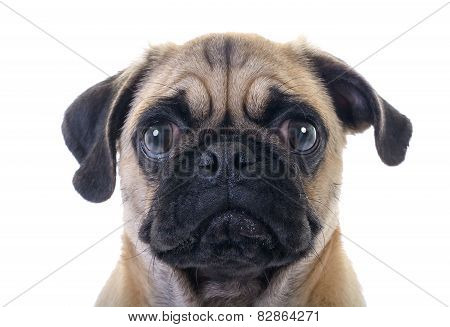Crying Pug Dog