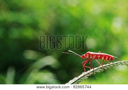 red hemipteran bug