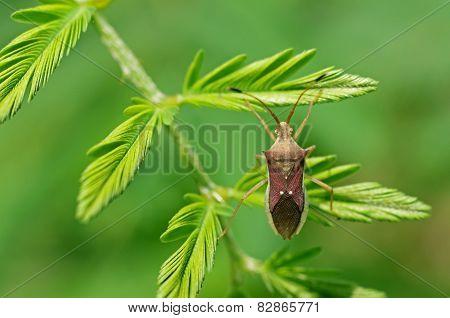 hemipteran bug on leafs