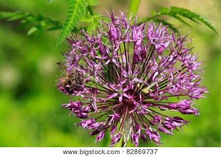 Bee And Allium Flower